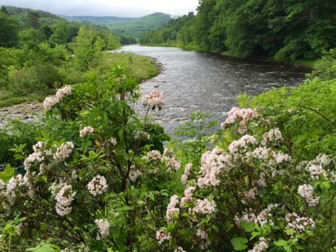 West River Trail mountain-laurel June 2016