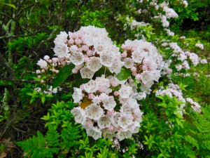 West River Trail, mountain laurel