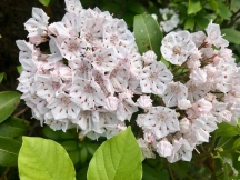 West River Trail, Rice Farm Road Trailhead, mountain laurel in bloom