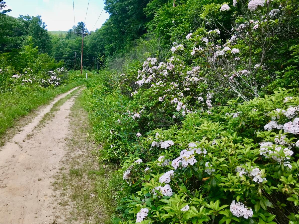West River Trail, Rice Farm Road Trailhead, mountain laurel in bloom